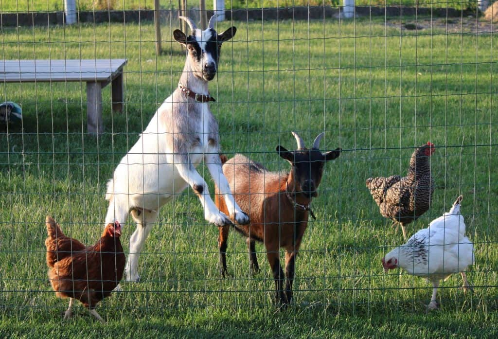 chickens-goats-on-farm-behind-fence