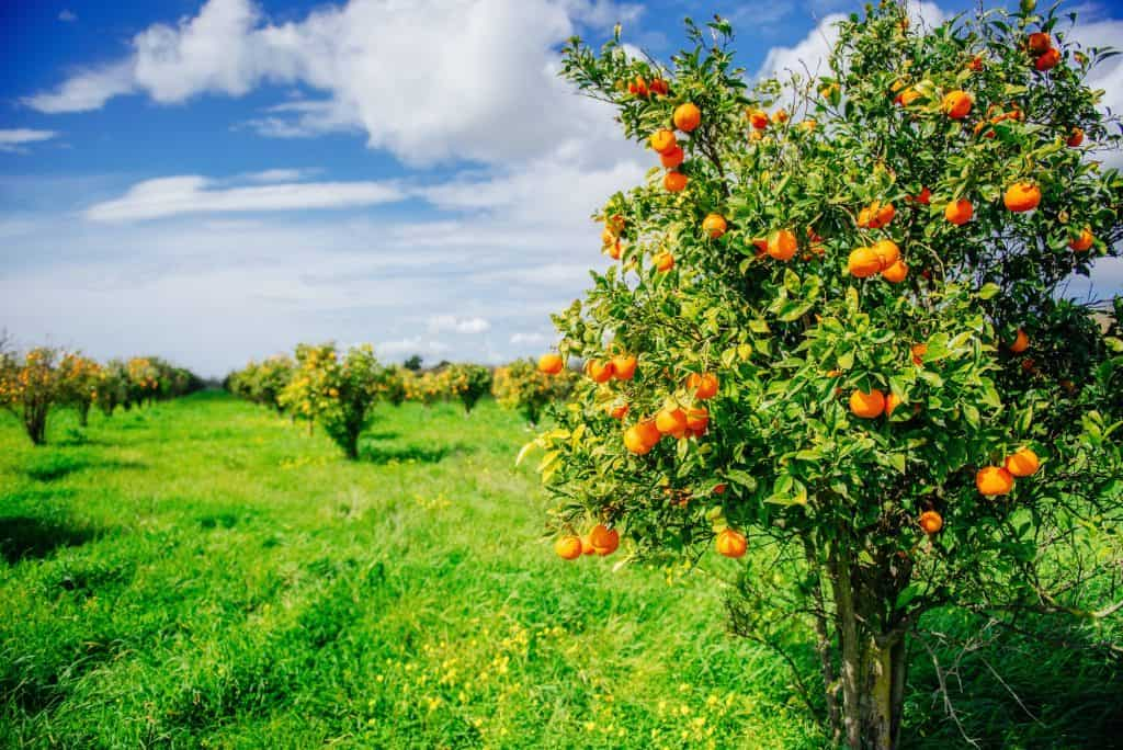 oranges-citrus-fruit-for-cows-cattle