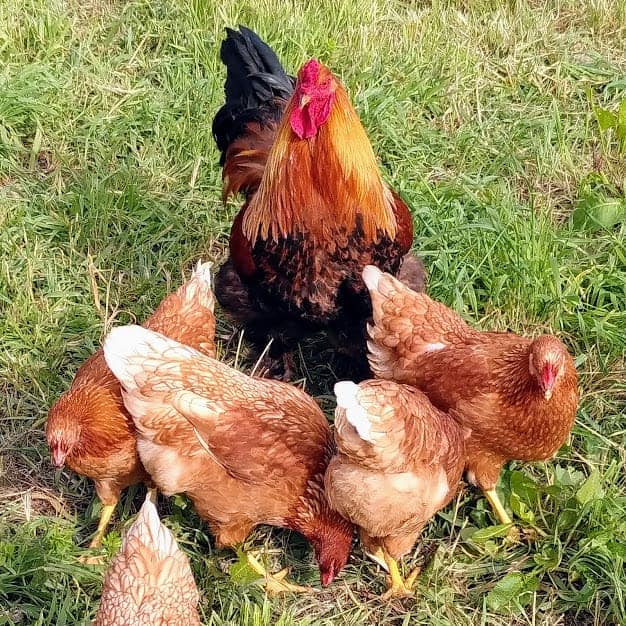 Rooster-kate-chalmers