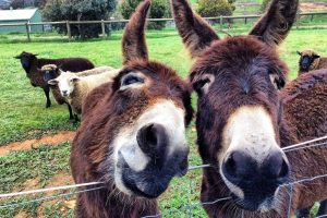 Will You Get A Kick Out Of Raising Donkeys?