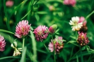 gathering-foraging-red-clover