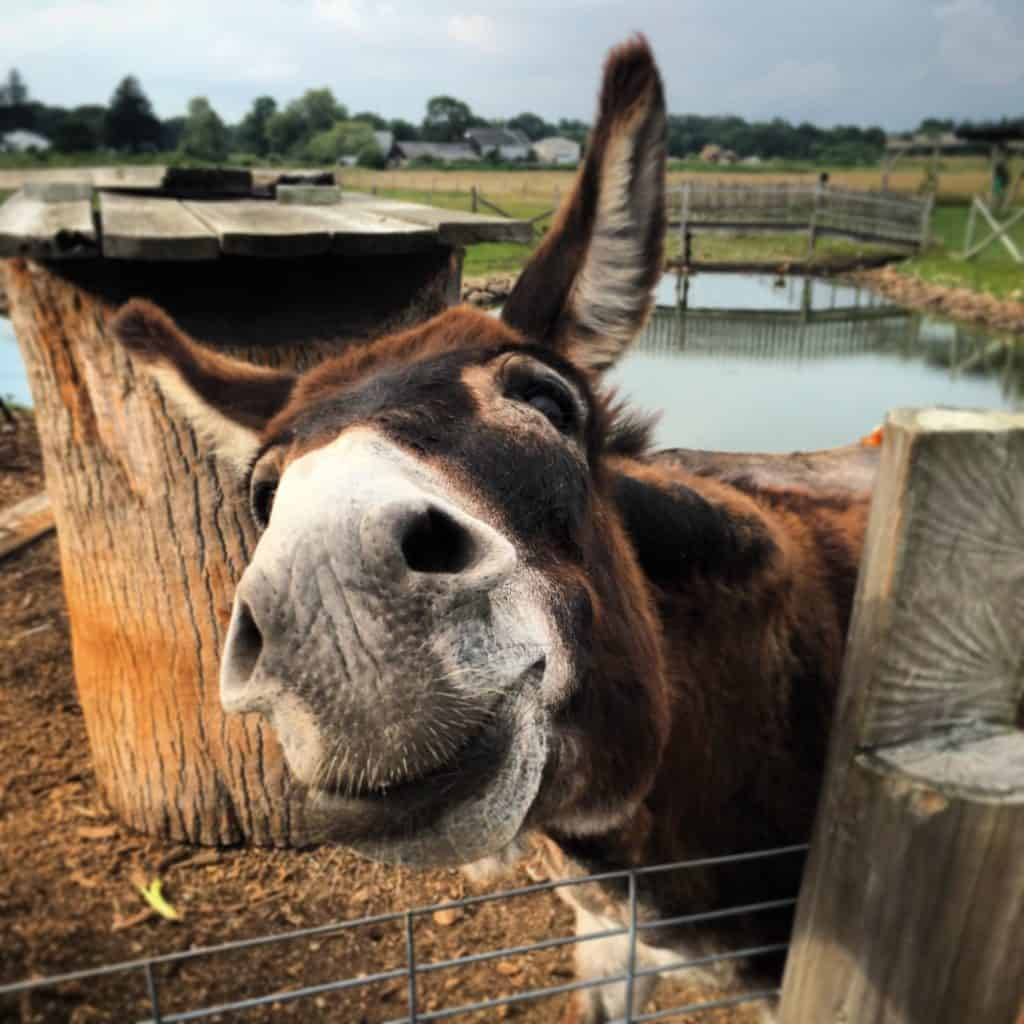raising-Donkeys-homestead