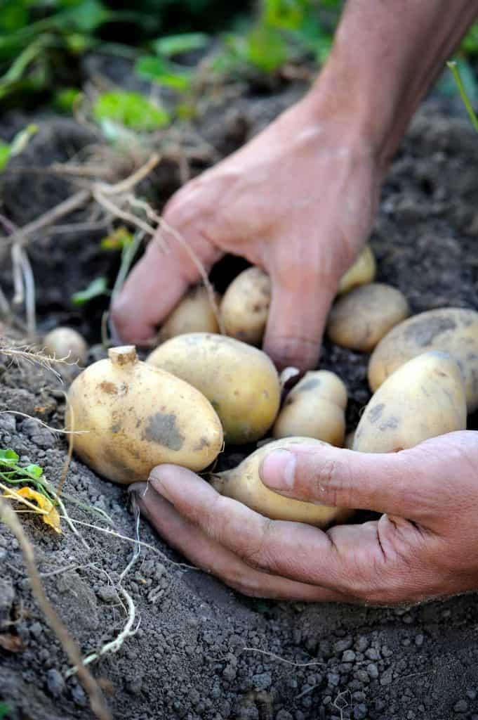 potato-growing-tips