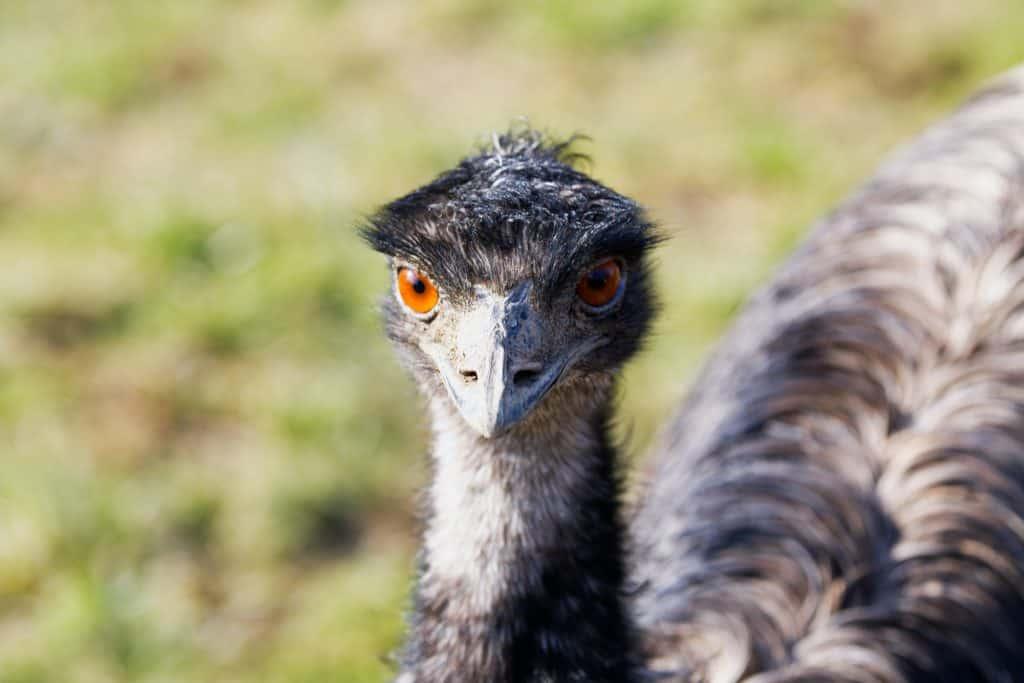 emu-homestead-Dromaius-novaehollandiae
