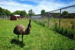 6 Reasons Not to Chicken Out Of Keeping Emus (And 5 Reasons Why You Might)