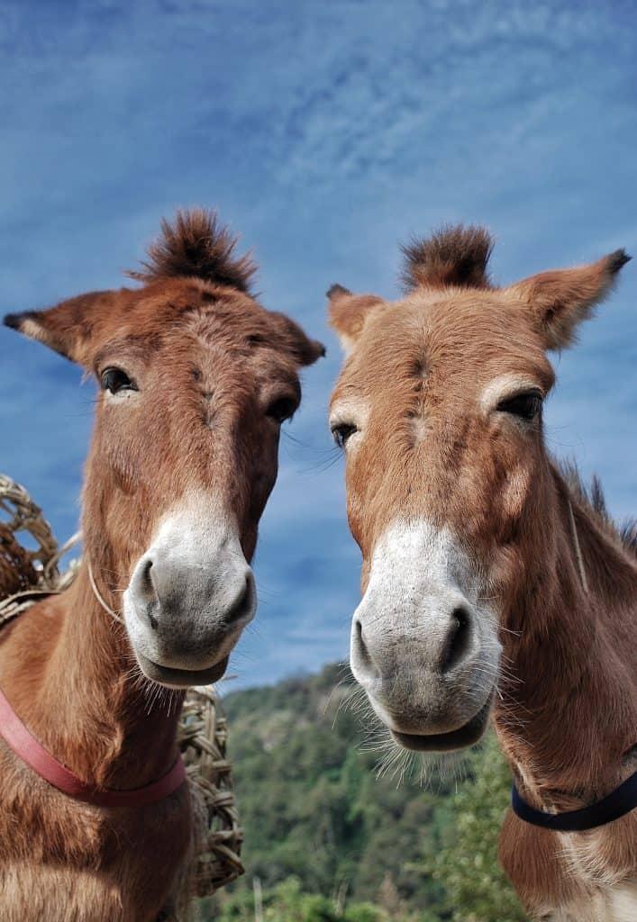 pair-of-donkeys