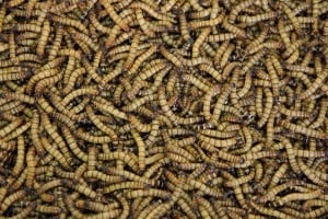 Maggots in Compost? They Aren't As Bad As You Think - Here's Why