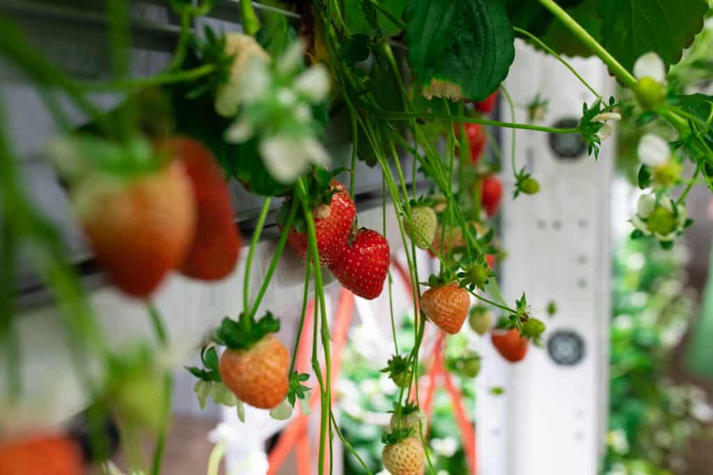strawberry-bucket-gardening