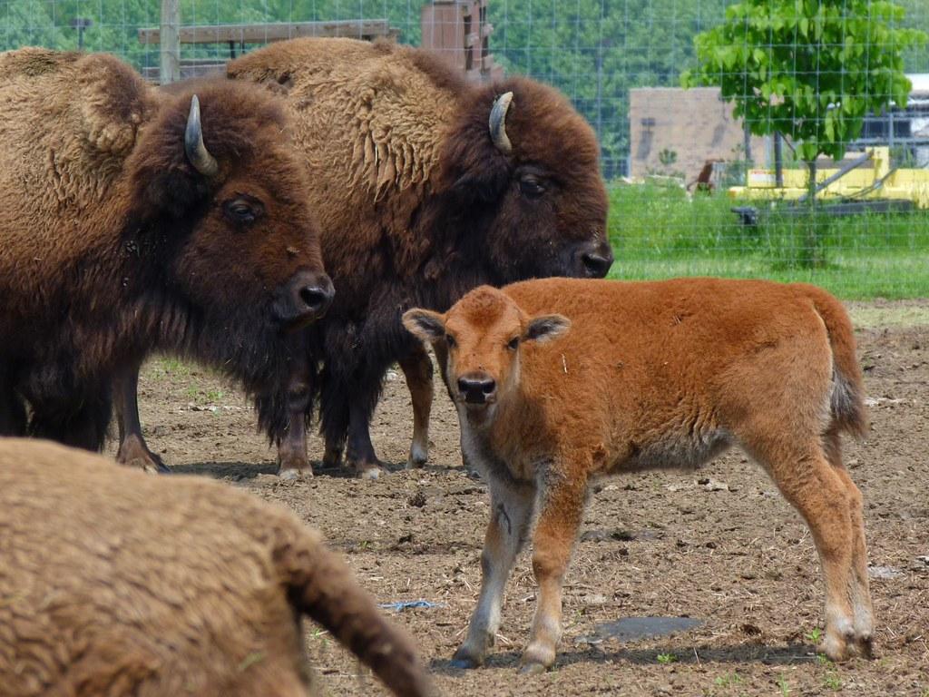 bison-farm-by-rusty-clark