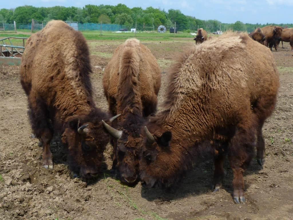 buffalo-bison-on-homestead-by-rusty-clark
