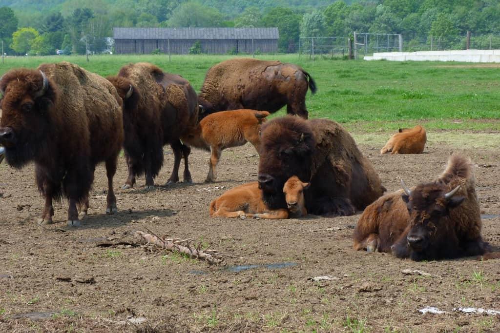 buffalo-farm-Hadley-by-Rusty-Clark