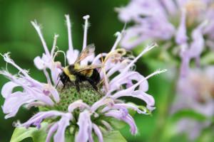 The Delightful Herb Called Wild Bergamot