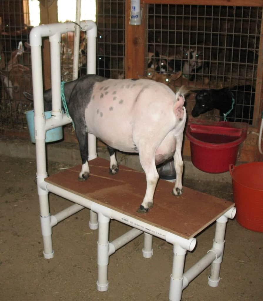 02 Goat Milking Stand - Pholia Farm 02