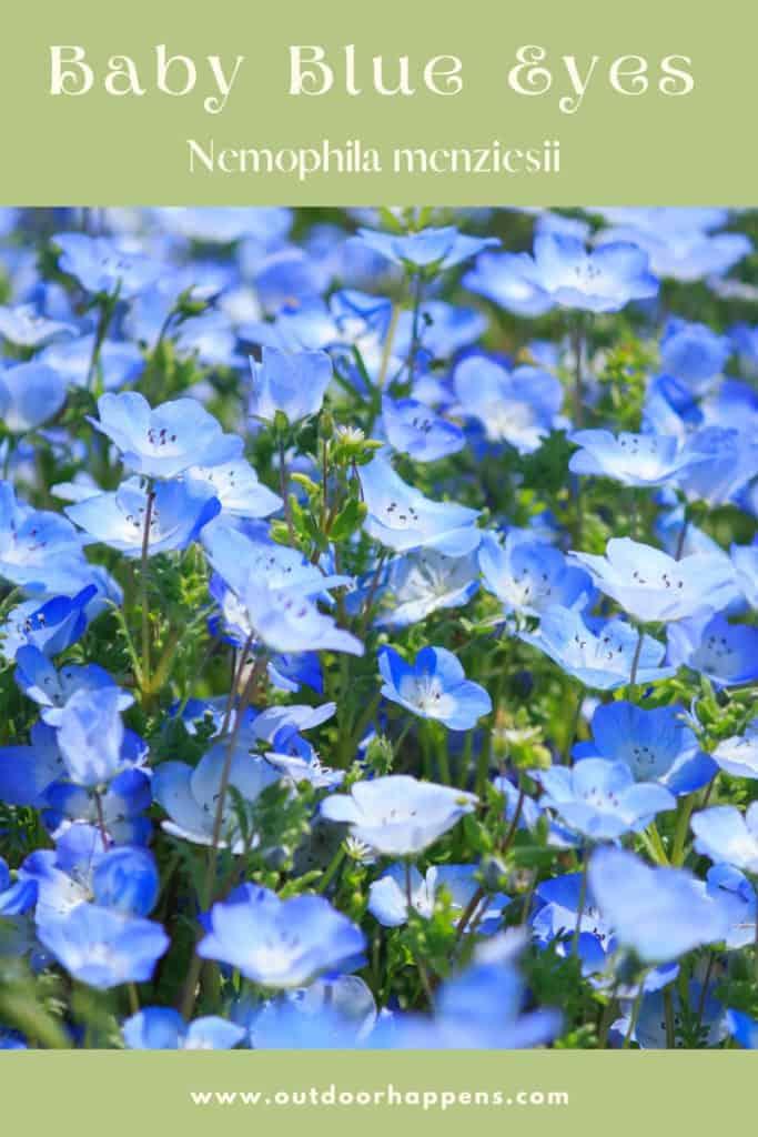 baby-blue-eyes-nemophila-menziesii