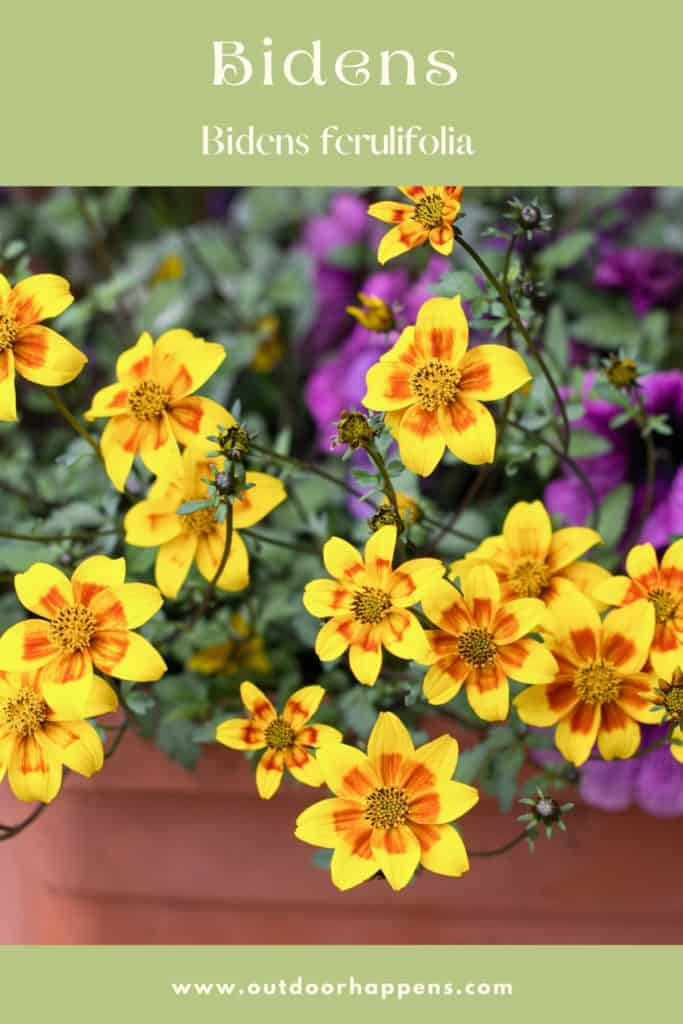bidens-ferulifolia-trailing-flowering-plant