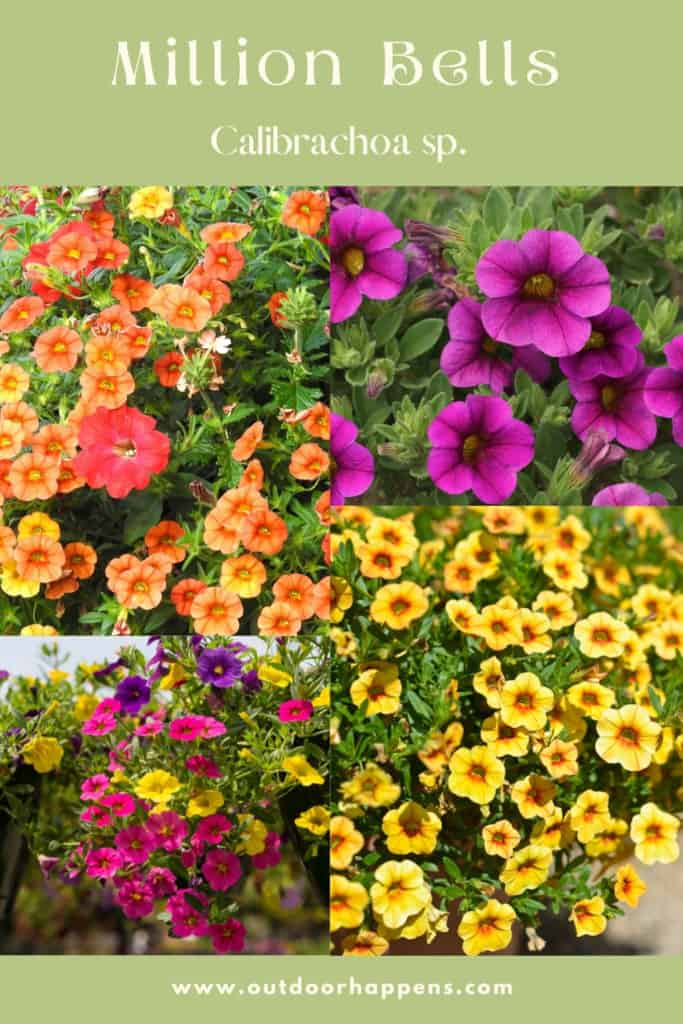 calibrachoa-million-bells-trailing-flowering-plant