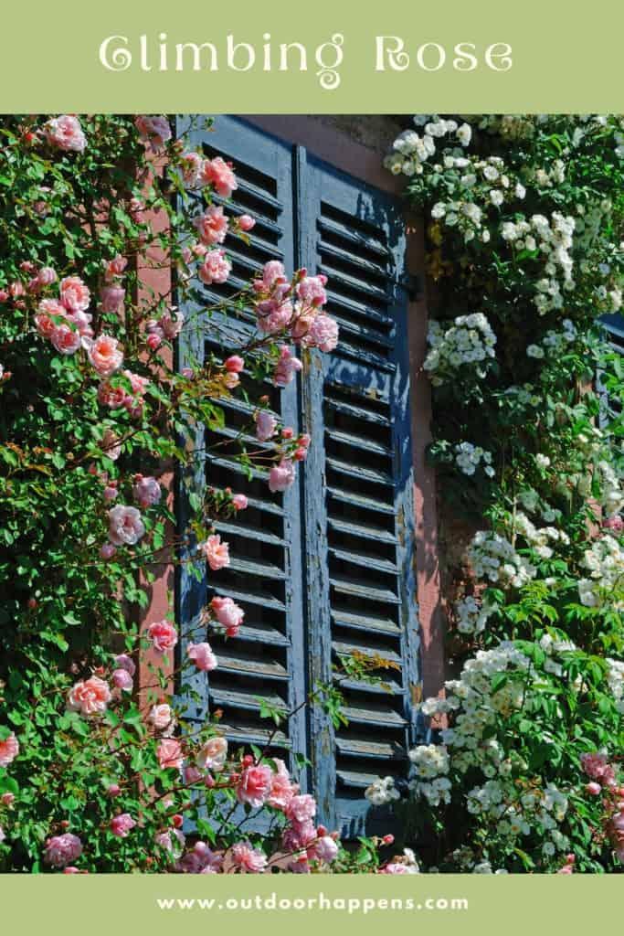 Climbing-rose-flowering-trailing-plants