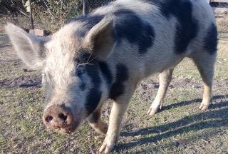 Hamilton, Humphrey the pig's son