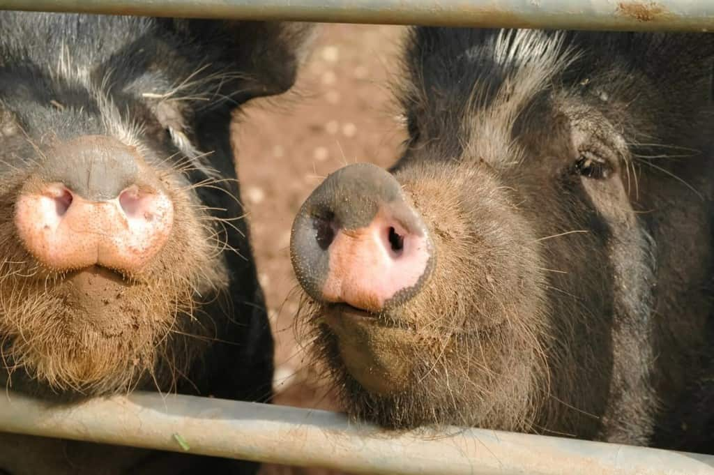 a-few-fun-orwellian-pig-names