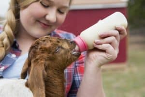 When Can a Baby Goat Leave Its Mother [Safely and Stress-Free]