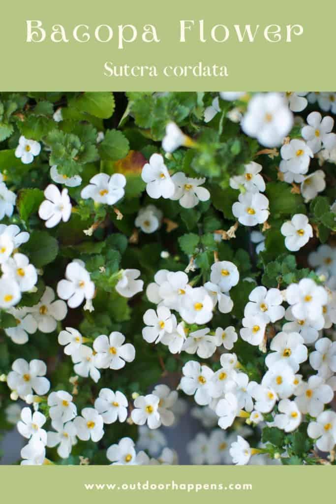 bacopa-flowers-sutera-cordata-flower