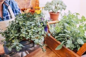 how-to-prune-mint-plant