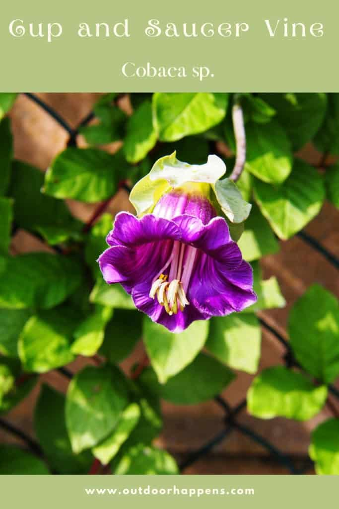 cup-and-saucer-vine-cobaea