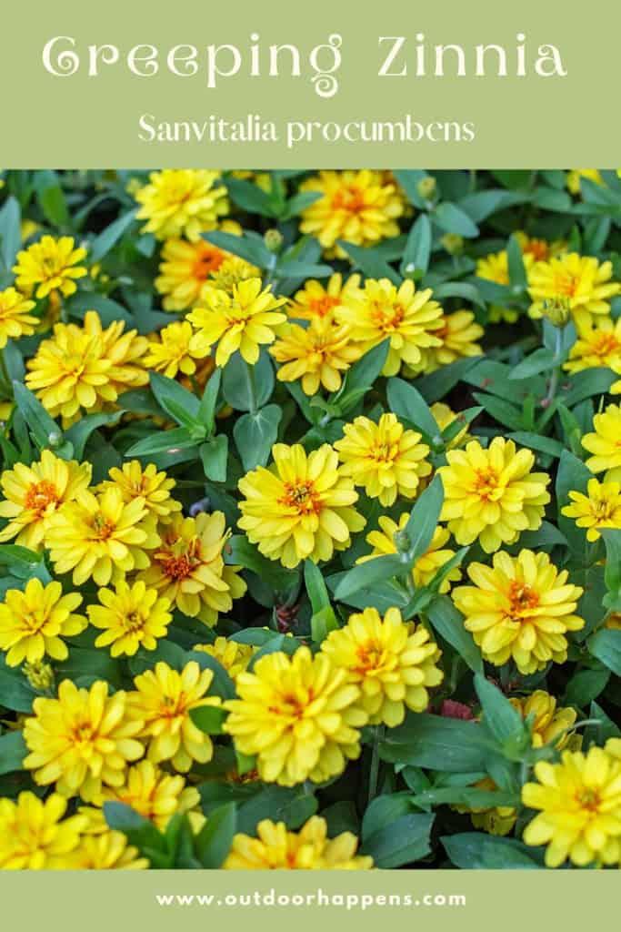 creeping-zinnia-sanvitalia-procumbens-flower