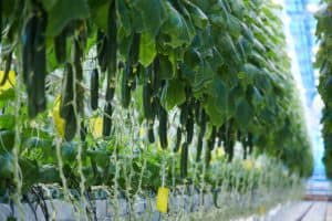 best-cucumber-varieties-that-are-easy-to-grow