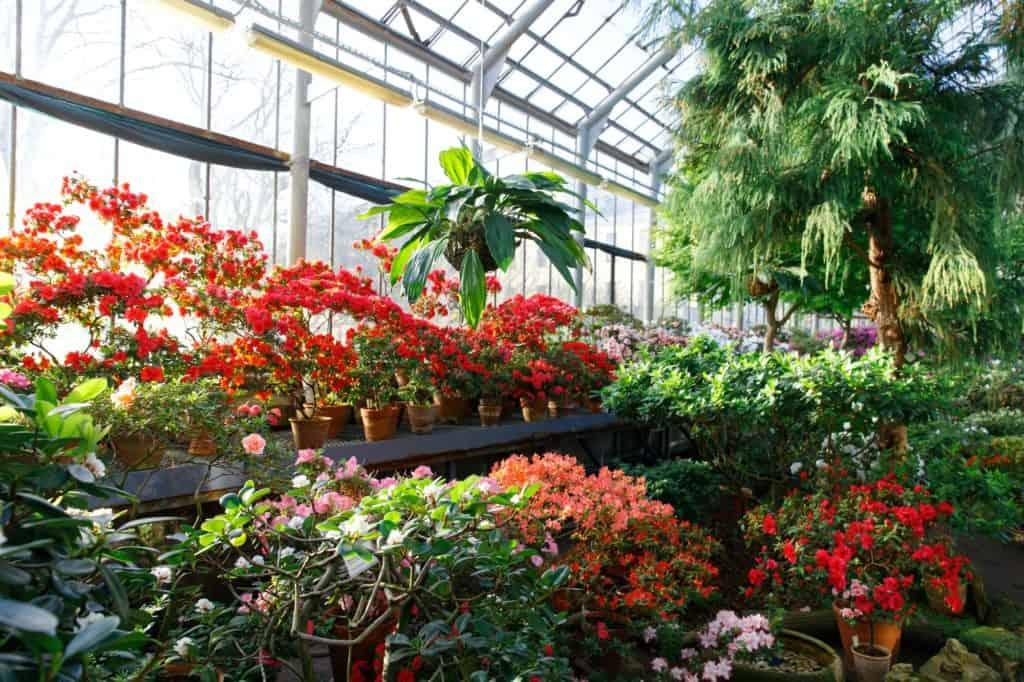 deadheading-flowering-azaleas