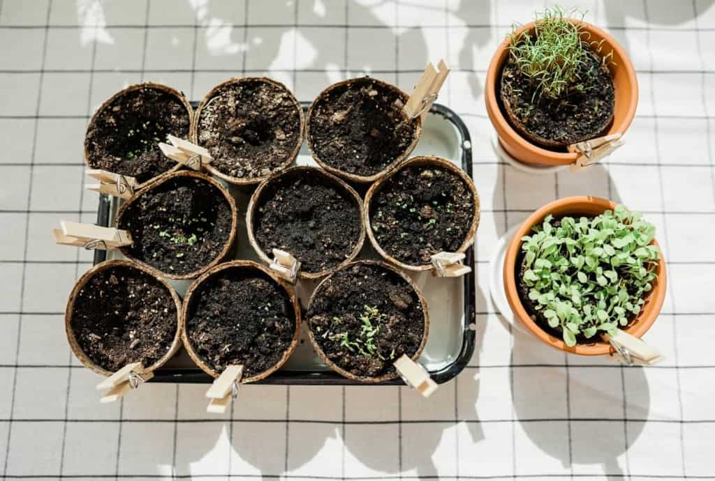 herbs-planted-in-peat-pots