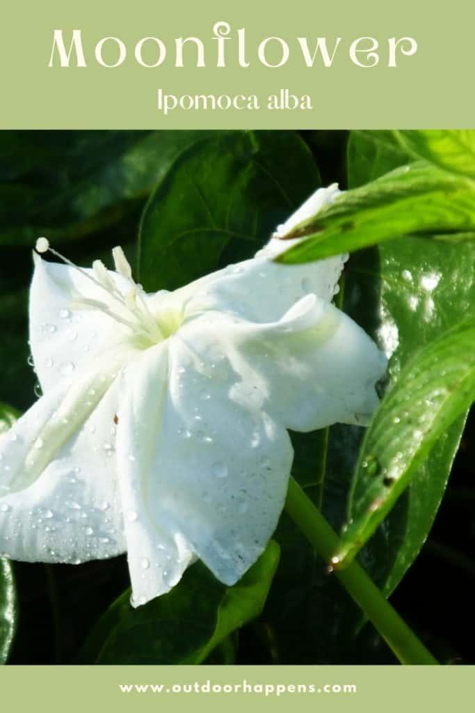 moonflower-ipomoea-alba