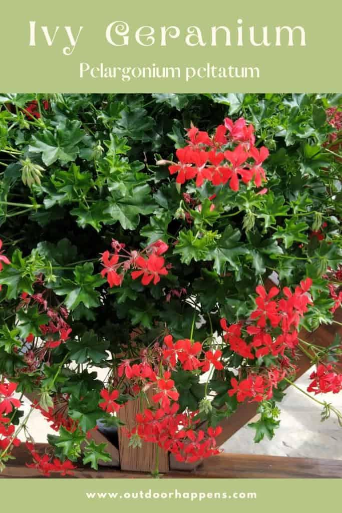 ivy-geranium-pelargonium-peltatum