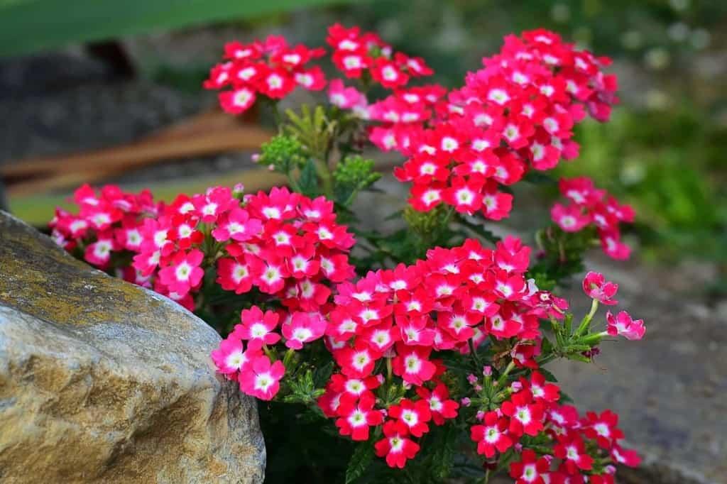 planted-verbena-flowers