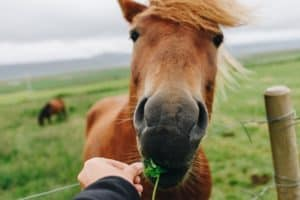 5 Homemade Horse Treat Recipes for Picky Eaters [Super Easy DIY!]