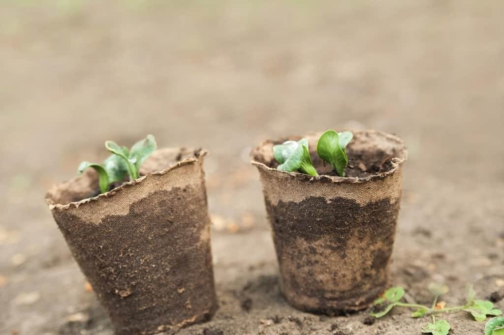 seedlings-in-peat-pots