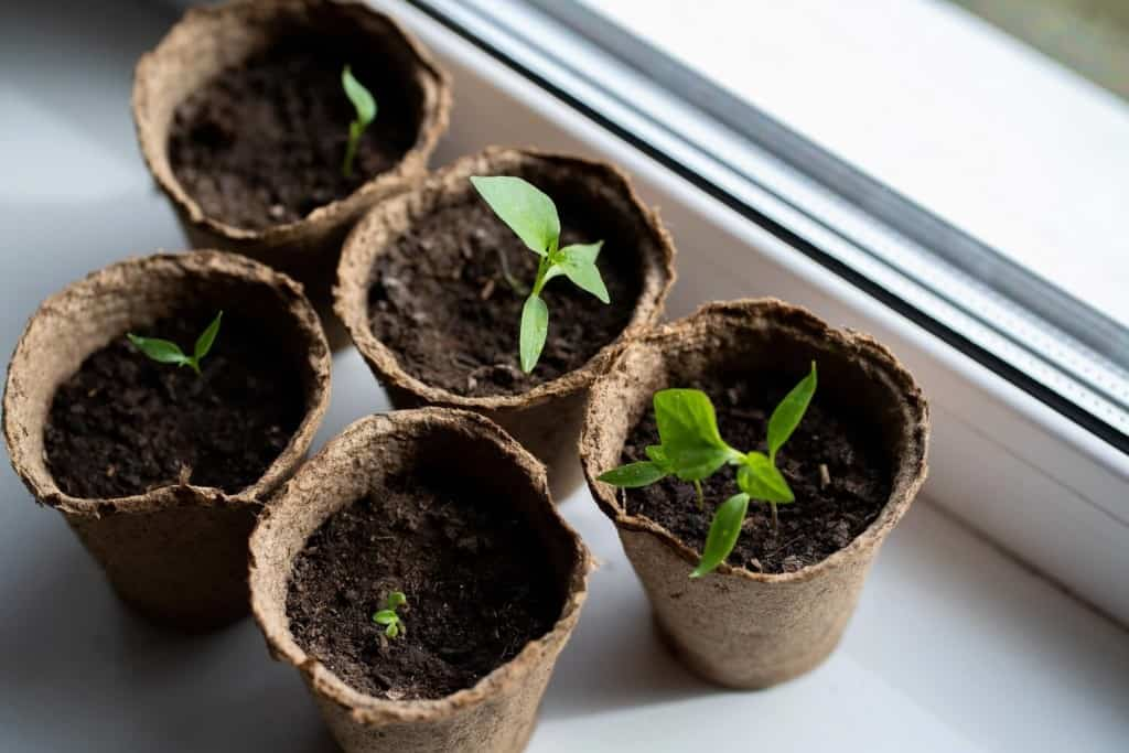 seedlings-in-peat-pots-on-the-windowsill
