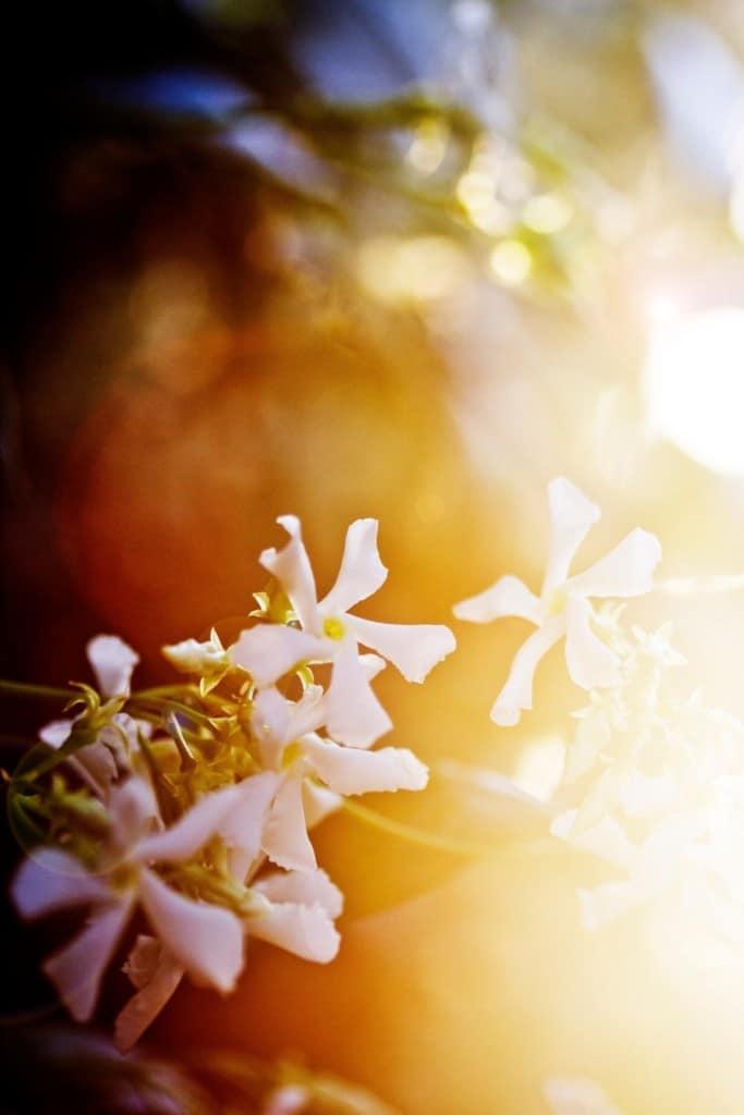 star-jasmine-vine-plant-trachelospermum-jasminoides