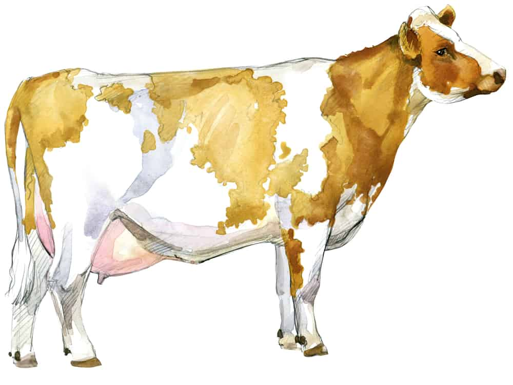ayrshire-dairy-cow-cattle-for-small-farms
