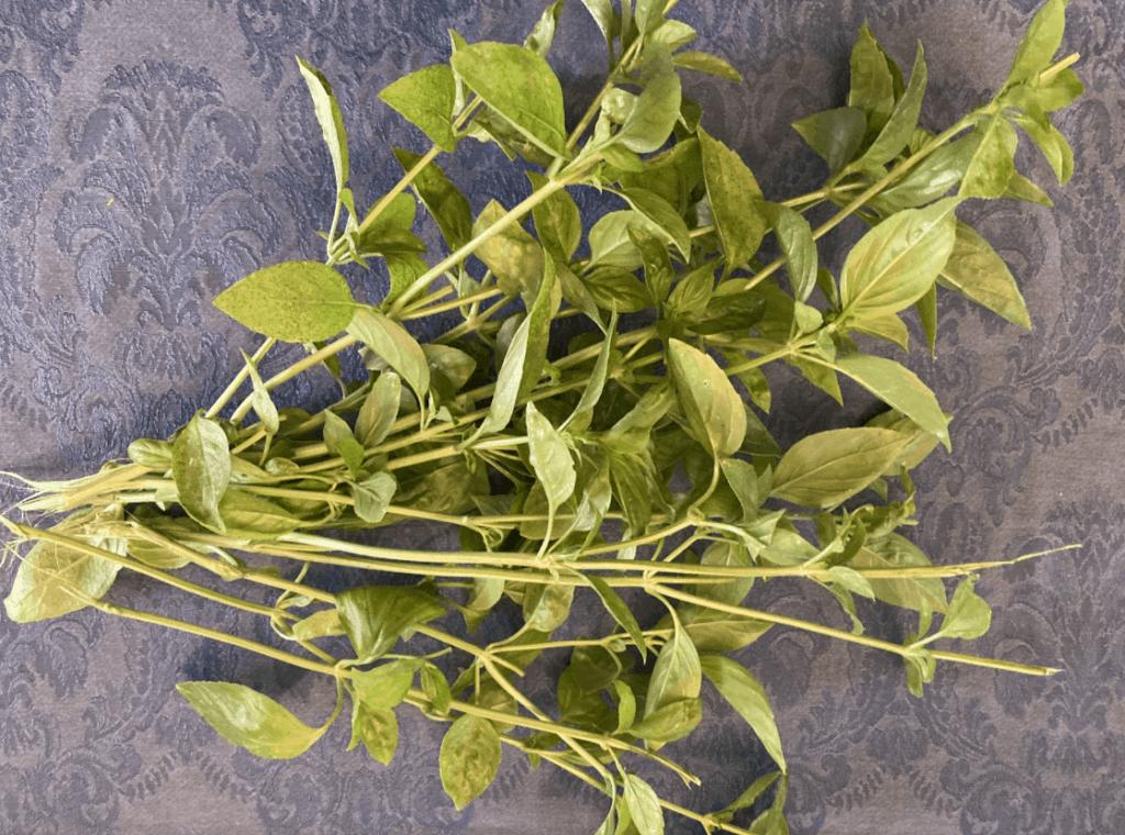 basil-harvest