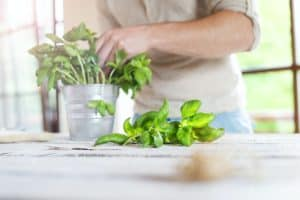 How to Harvest Basil Without Killing the Plant - 5 Easy Steps