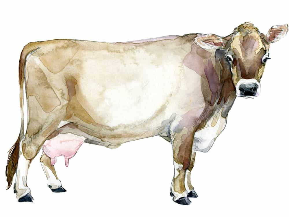 brown-swiss-dairy-cow-small-farms