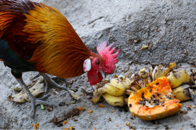 can-chickens-eat-banana-peels-and-bananas