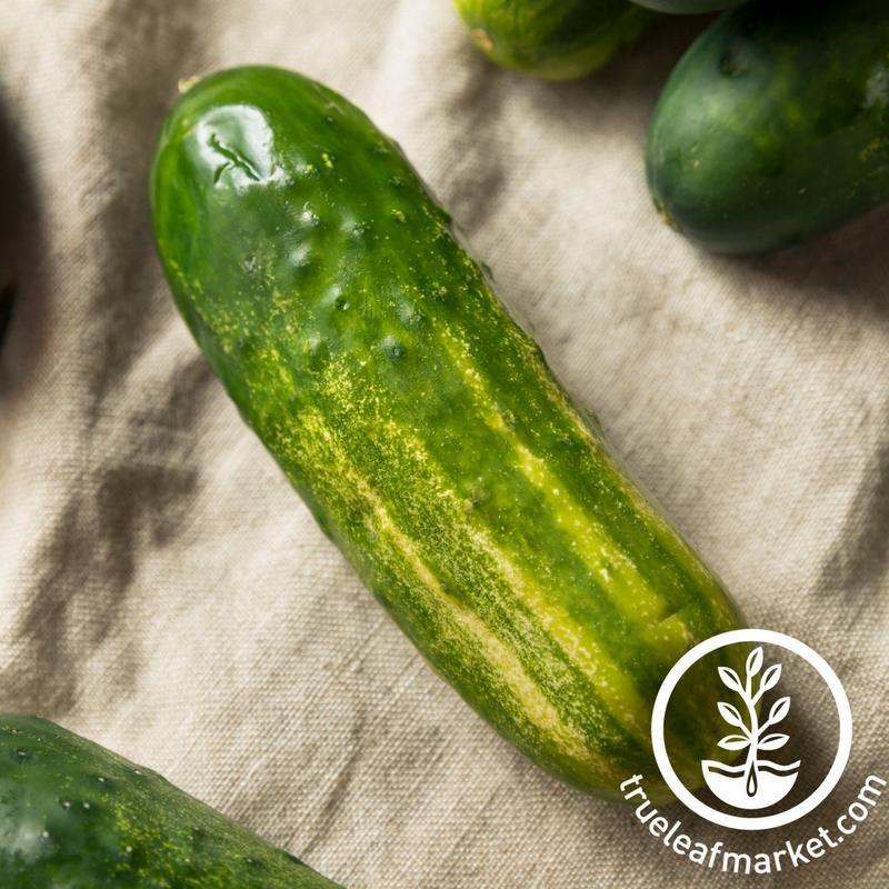 carolina-cucumber-variety