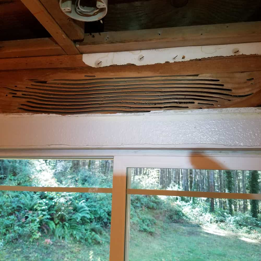 carpenter-ant-damage-inside-house