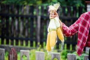 fresh-corn-ears-harvest