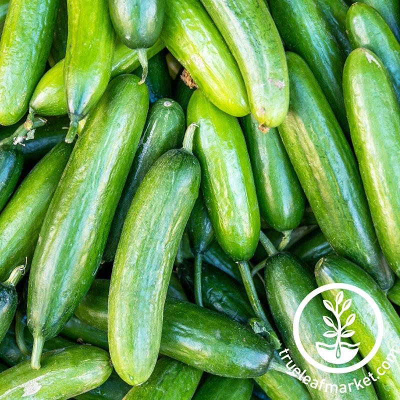 marketer-cucumber-variety