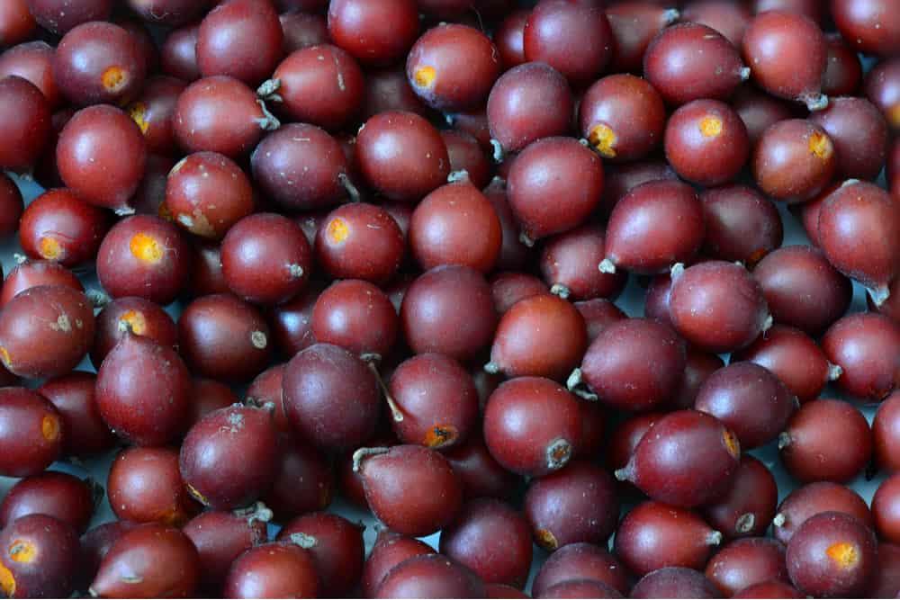 hackberry hack berry fruit celtis occidentalis berries