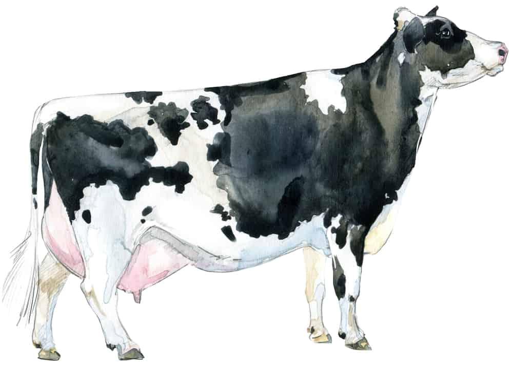 holstein-dairy-cow-homestead-cattle-ss