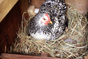 how-to-help-an-egg-bound-chicken-and-identify